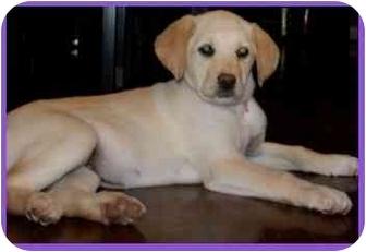 Labrador Retriever Mix Puppy for adoption in Arlington, Virginia - Aries