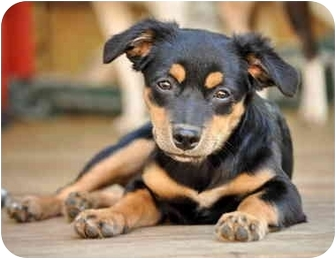 Terrier (Unknown Type, Small) Mix Puppy for adoption in Portsmouth, Rhode Island - Nubi