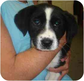 St. Bernard/Border Collie Mix Puppy for adoption in Old Bridge, New Jersey - Sophie