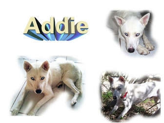 Siberian Husky Dog for adoption in Seminole, Florida - Addie