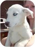 Shepherd (Unknown Type)/Hound (Unknown Type) Mix Puppy for adoption in Portland, Maine - Sakima