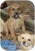 Labrador Retriever Mix Puppy for adoption in Foster, Rhode Island - Petunia Lynn