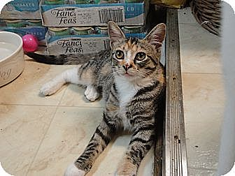 Domestic Shorthair Cat for adoption in MADISON, Ohio - Bashful
