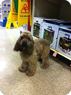 Cocker Spaniel Dog for adoption in Baton Rouge, Louisiana - Brady