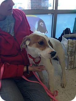 Beagle/Hound (Unknown Type) Mix Puppy for adoption in Cincinnati, Ohio - Callie