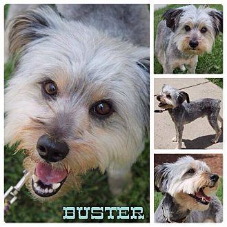 Corgi/Yorkie, Yorkshire Terrier Mix Dog for adoption in Garden City, Michigan - Buster