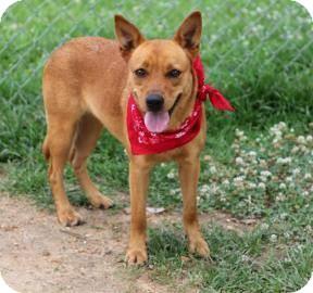 Australian Cattle Dog/Labrador Retriever Mix Dog for adoption in Wethersfield, Connecticut - Cinammon