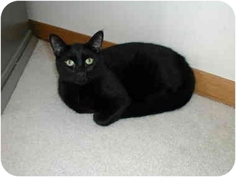 Domestic Shorthair Cat for adoption in Toronto, Ontario - Dusk