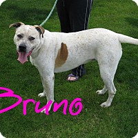 Adopt A Pet :: Bruno - Scottsdale, AZ