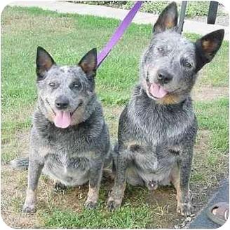 Cattle Dog Mix Dog for adoption in Westfield, New York - Sydney & Dingo