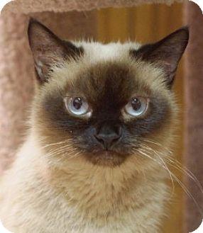 Burmese Cat for adoption in Medford, Massachusetts - Keeko