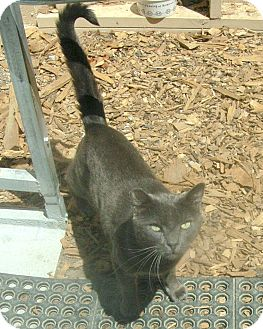 Russian Blue Cat for adoption in San Pablo, California - BULLY
