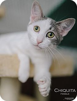 Domestic Shorthair Cat for adoption in St. Louis, Missouri - Chiquita- Courtesy Post