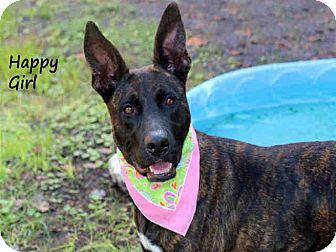 Belgian Malinois/Greyhound Mix Dog for adoption in Ft Myers Beach, Florida - Last Plea for Ziva!!