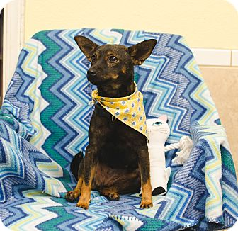 Chihuahua/Manchester Terrier Mix Dog for adoption in Poteau, Oklahoma - SALLY