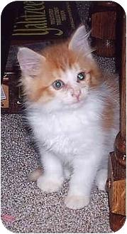 Domestic Mediumhair Kitten for adoption in Owatonna, Minnesota - Lucky
