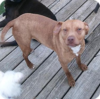 Pit Bull Terrier Mix Dog for adoption in Hainesville, Illinois - Kyler
