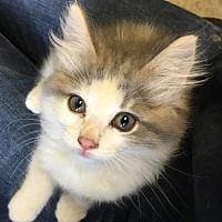 Domestic Mediumhair Kitten for adoption in Decatur, Georgia - Aztec - ADOPTED
