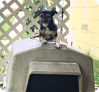 Chihuahua/Miniature Pinscher Mix Dog for adoption in New York, New York - Delilah