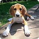 Adopt A Pet :: Norma's Pup Sansa