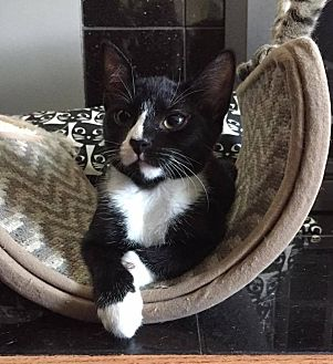 Domestic Shorthair Cat for adoption in Toms River, New Jersey - Camila