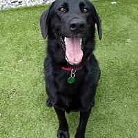 Adopt A Pet :: Chief - Midlothian, VA