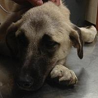 Adopt A Pet :: Ria - Silver Spring, MD