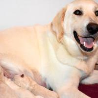 Adopt A Pet :: SUGAR - troutman, NC