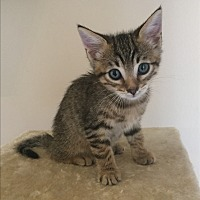 Adopt A Pet :: Sage - Orange, CA