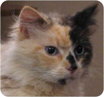 Manx Cat for adoption in Davis, California - Trinity