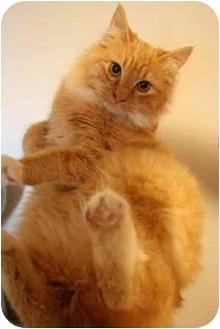 Domestic Mediumhair Cat for adoption in Okotoks, Alberta - Pickle