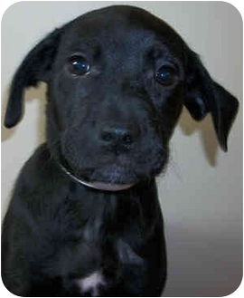 Beagle/Dachshund Mix Puppy for adoption in Struthers, Ohio - Acorn