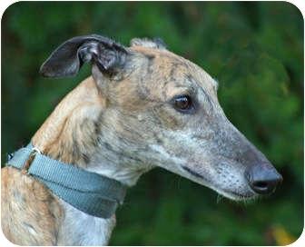 Greyhound Dog for adoption in Portland, Oregon - Red 4