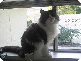 Domestic Longhair Cat for adoption in Laguna Woods, California - Marvelous Micki