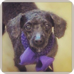 Poodle (Miniature) Dog for adoption in High Point, North Carolina - Holly
