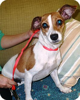 Jack Russell Terrier Mix Dog for adoption in Eastpoint, Florida - Missy