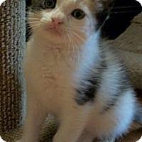 Adopt A Pet :: Sundae - Reston, VA