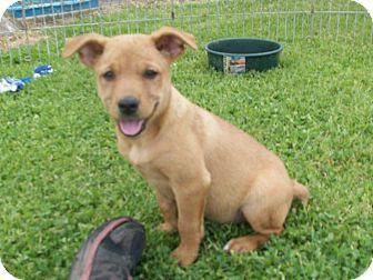 German Shepherd Dog/Labrador Retriever Mix Puppy for adoption in Liberty Center, Ohio - Luke