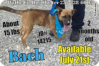 Shepherd (Unknown Type) Mix Puppy for adoption in Wytheville, Virginia - Bach - URGENT