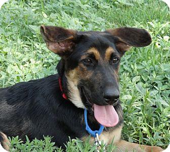German Shepherd Dog/Briard Mix Dog for adoption in Denver, Colorado - Josie