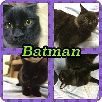 Domestic Mediumhair Kitten for adoption in Pahrump, Nevada - Batman