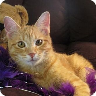 Domestic Shorthair Cat for adoption in Columbia, Illinois - Yankee