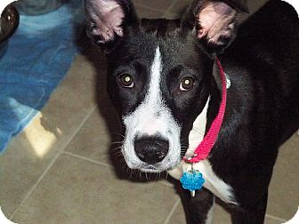 Labrador Retriever/Hound (Unknown Type) Mix Dog for adoption in New Yor, New York - SHEBA