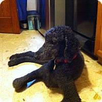 Adopt A Pet :: Joe - moscow mills, MO
