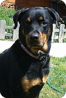 Rottweiler Dog for adoption in Chewelah, Washington - Ladybug