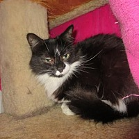 Domestic Mediumhair Cat for adoption in Coos Bay, Oregon - Nelly