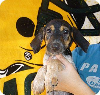 Beagle/Hound (Unknown Type) Mix Puppy for adoption in Oviedo, Florida - Bamboo