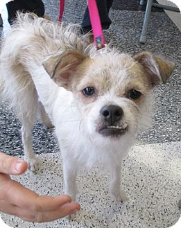 Terrier (Unknown Type, Small) Mix Dog for adoption in Humble, Texas - Sadie