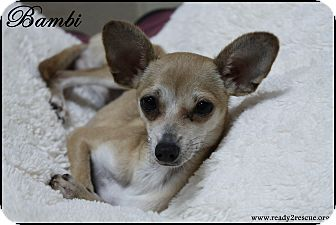 Chihuahua/Italian Greyhound Mix Puppy for adoption in Rockwall, Texas - Bambi