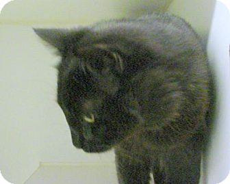 Domestic Mediumhair Cat for adoption in Olympia, Washington - 44498